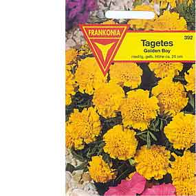Tagetes / Studentenblume Golden Boy