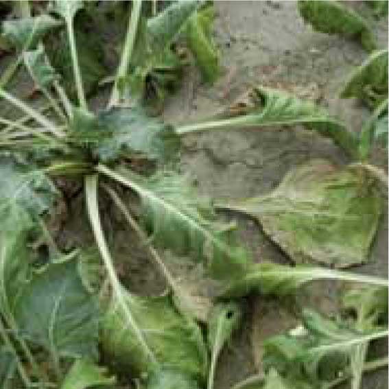 Nematoden im Zuckerrübenanbau - schlafende Rüben durch Nematodenbefall