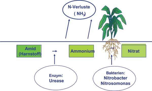 Der Weg vom Harnstoff zum Nitrat